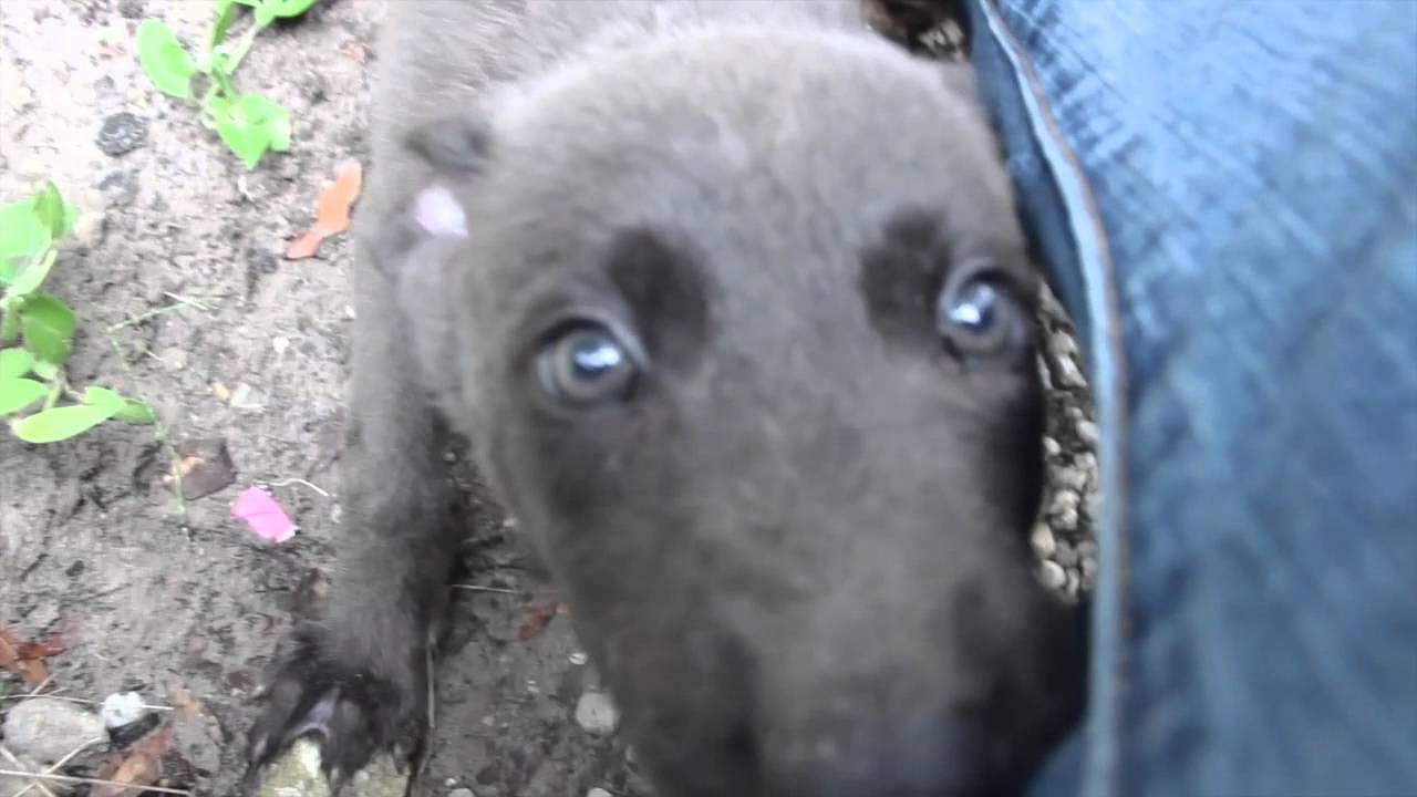 Blue Dutch Shepherd Puppy Milo Youtube