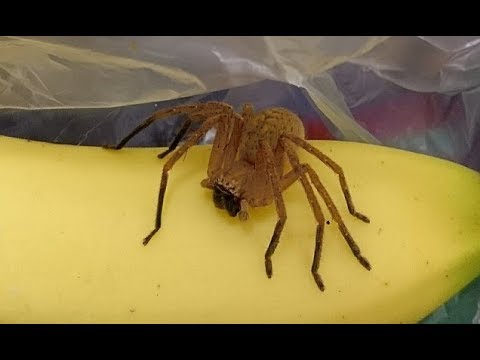 Man finds one of world's d eadliest spiders in  bananas