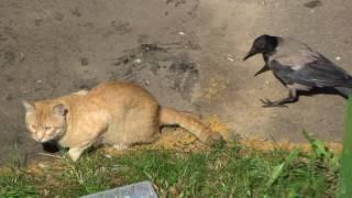 Наглая ворона дергает кота за хвост.