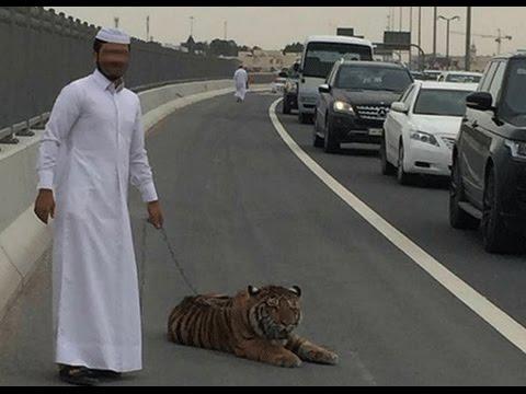 نمرطليق في شوارع الدوحة tiger stalls traffic on busy Doha street