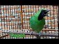Cucak Ijo Gacor Full Tembakan Pancing Cucak Ijo Lain Ikut Emosi  Mp3 - Mp4 Download