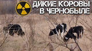 Дикие коровы в Чернобыле - они реально существуют? Уникальные животные Чернобыльской Зоны Отчуждения
