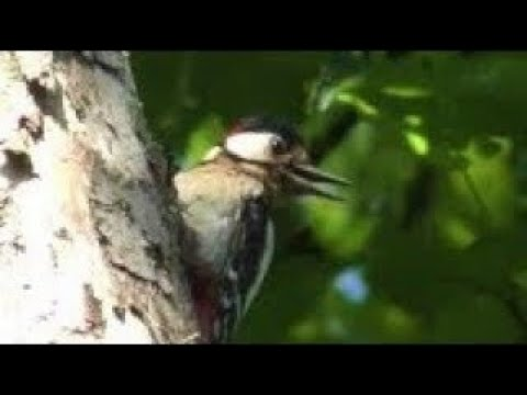 WOODPECKER ALARM CALL to Chicks & Predator - MAGPIE Waiting