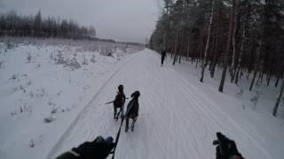 Canicrosscountryski with two German shorthair pointers | Jyri Hänninen