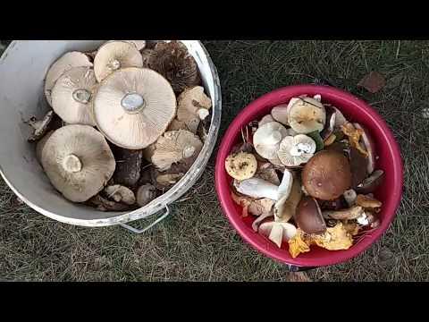 Вопрос: Что за грибы – черные лисички, съедобны или нет?