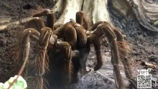 【怪兽来了43期】巨型蜘蛛竟能捕鼠食鸟