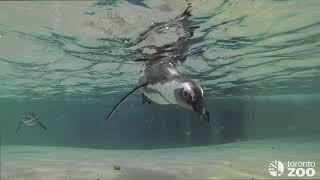Toronto Zoo Penguin Colony Swimming