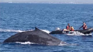 Rescue Team Rushes to Free Entangled Humpback Whale Near Hawaii thumbnail