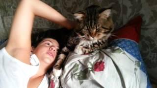 Прикольный кот Мейн Кун Джокер Palmiracoon