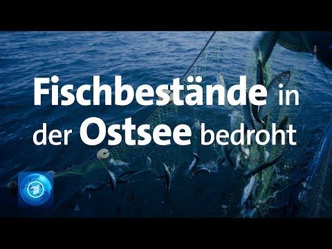 Fangverbot für Dorsch in der östlichen Ostsee