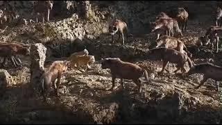 Ormanlar kralı Aslan yavrularını kurtarıyor..