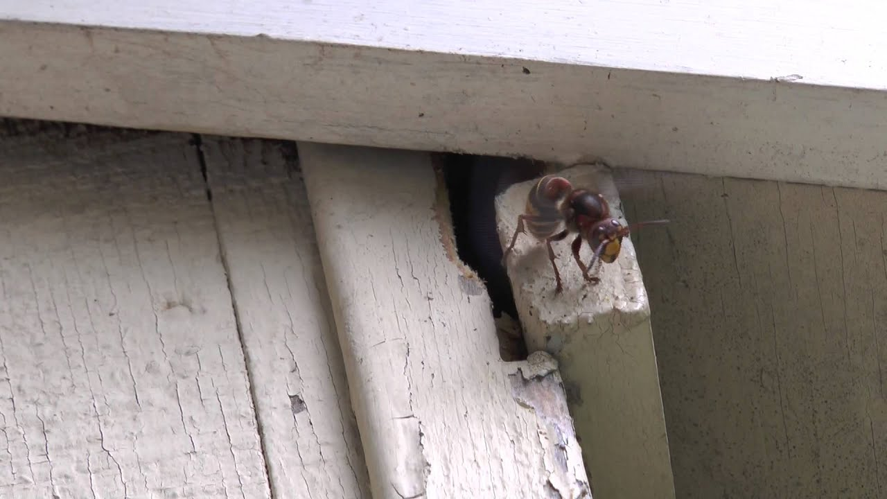 how to get rid of european hornets