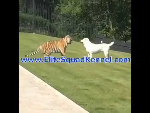 Central Asian Shepherd - Alabai playing with Tiger