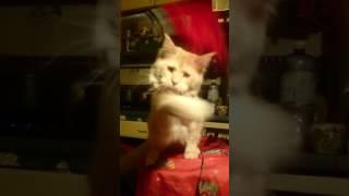 Мейн-кун Умка, Одесса,продаются котята