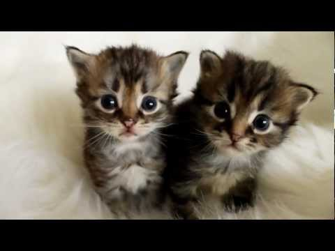 3 week old Siberian kittens