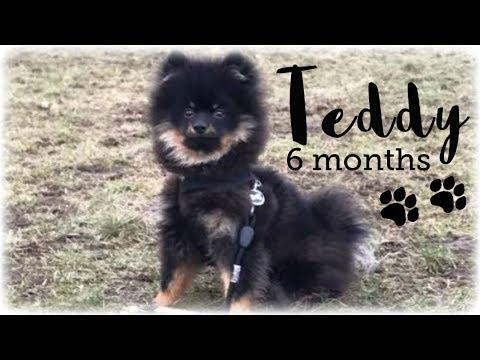 Teddy The Kleinspitz - 6 months