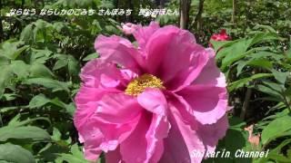 奈良大和路の花のお寺と言われる総本山 長谷寺 仁王門くぐると牡丹ぼた...