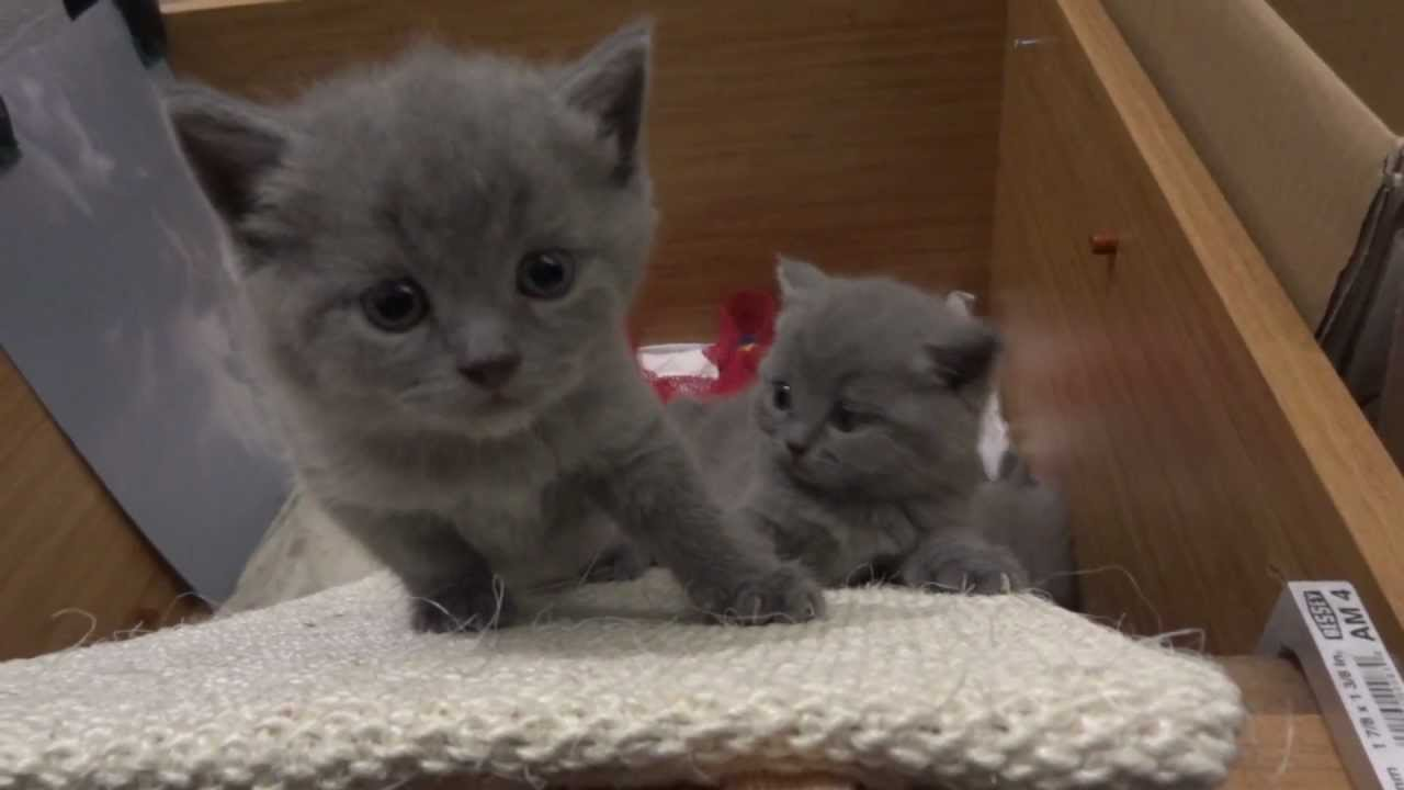 Chartreux Kittens Youtube