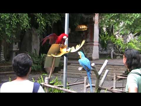 Shocking Parrot Behaviour Sometime Seen in Humans –  Bali Safari Marine Park,  Indonesia Holidays