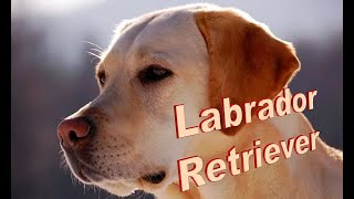 Labrador Retriever Dog Breed info.  How to Choose Dogs