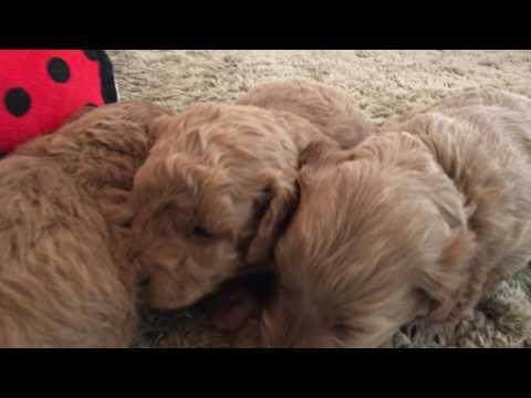 Beasley's F1b Petite Goldendoodle puppies...4 weeks old