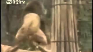 Lion Vs Tiger- Real Battles