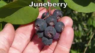 Juneberries - Delicious Berries Native To The Entire United States