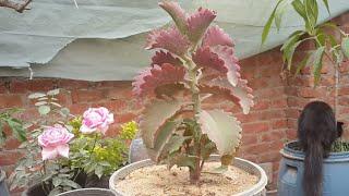 زراعة واكثار صبار عرف الديك ( sexangularis)على السطح تجذير هوائى