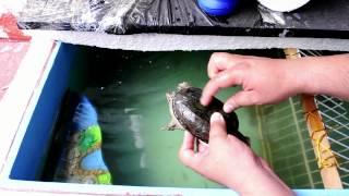 Cómo limpiar el caparazón de una Tortuga