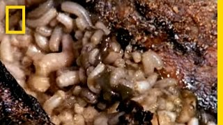 Maggot Medicine | National Geographic