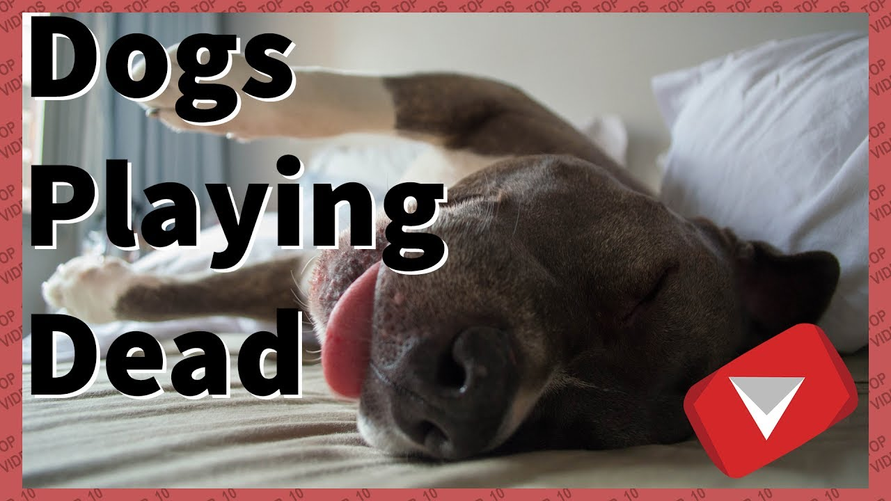 Dogs Playing Dead After Finger Shot [Cute] (TOP 10 VIDEOS)