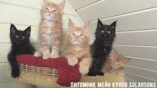 Котята Мейн Кун свободны и ждут мам!