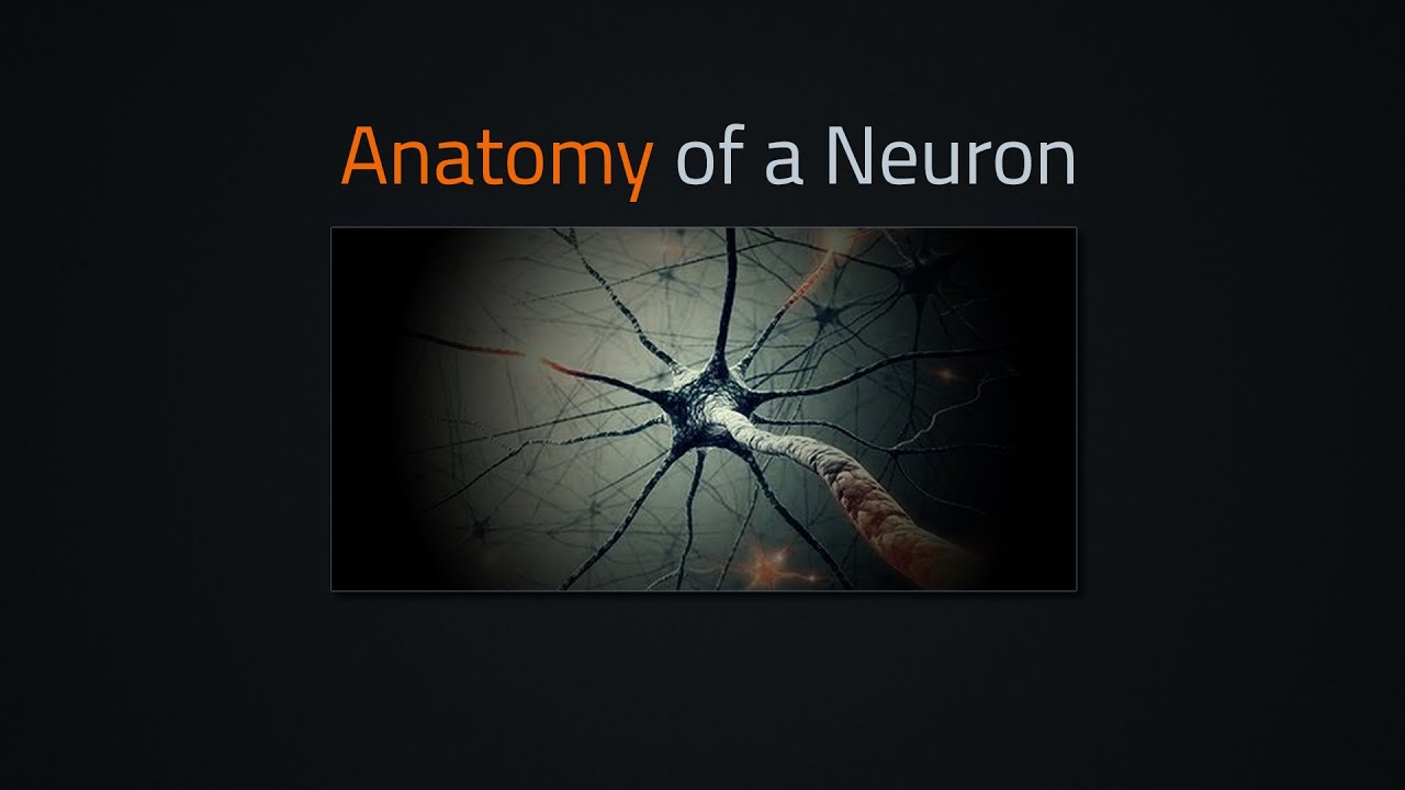 The anatomy of a neuron - YouTube