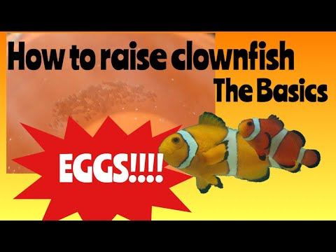 How To Raise Clownfish - Ep 1. The Basics