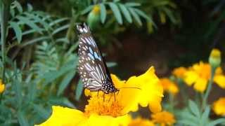 Tiger butterfly
