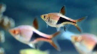Мой аквариум ч.8 красивые рыбки расбора.