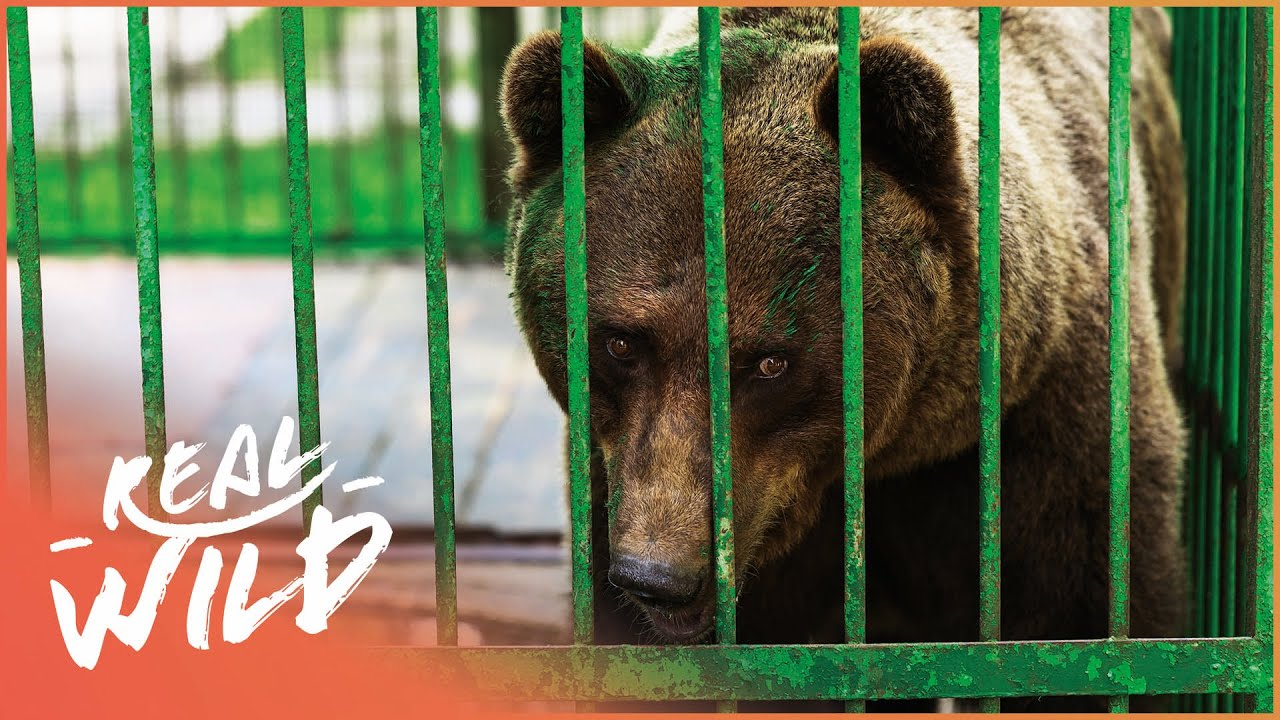Fifteen Brown Bears Rescued From Private Zoos In Kosovo | Wild Animal Rescue | Real Wild