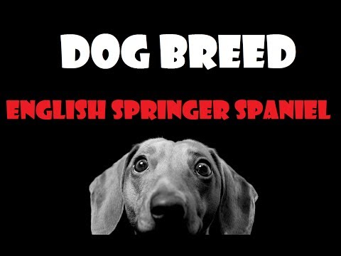 DOG BREED - English Springer Spaniel [ITA]