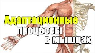 [Пособие тренинг] Адаптационные процессы в мышцах.