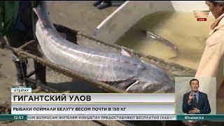 Рыбаки в Атырау поймали белугу весом почти в 150 килограммов