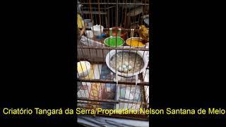 Criação de galo-da-campina (Paroaria Dominicana) em cativeiro