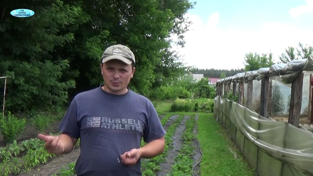 Как размножить клубнику на агроволокне? Просто!