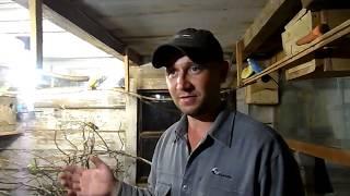 видео Понос у волнистого попугая