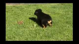 Rottweiler Mix Puppies For Sale