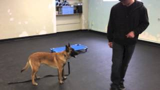 The Stand Command With Malinois Kato | Tyler Muto Dogmanship