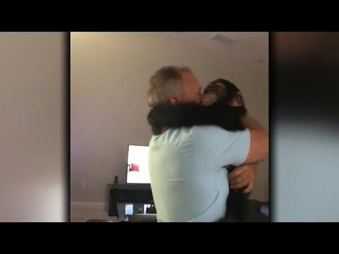 Limbani the chimpanzee greets old caregiver with huge hug