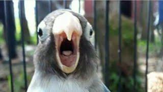 Suara pancingan lovebird uh langsung gacor dan ngekek panjang