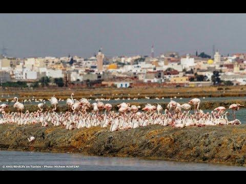 More than 22,000 Flamingos nest at Sahline saltpans, Tunisia