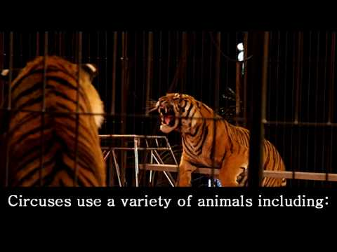 Видео Cruelty to animals in circuses essay