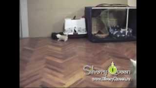 Silvery Queen - Британские кошки окраса серебристая шиншилла